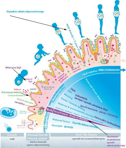 Młodość, flory bakteryjnej jelit i rozwój immunologiczny - ustanowienie symbiozę. Ustanowienie-gospodarza flory bakteryjnej jelit symbiozy jest napędzany przez obu sygnałów rozwojowych i środowiskowych, zwłaszcza we wczesnym okresie życia, na zawsze zmienił zdrowia przez całe życie. Prenatalnej jelita uważa się za sterylny, co rozwój zależy przede wszystkim od genotypu, jak również od czynników matki oraz żywienia i stanu zdrowia. W cryptopatches i tkanki limfatyczne (węzły chłonne krezki i poprawki Peyera) z dendrytyczne, limfocyty T i B rozwijać się w przygotowaniu ekspozycji na pozamaciczną świata. Podczas narodzin, niemowlęta zaszczepia mikrobów matki i środowiska, a także rodzaj i wzory w dużym stopniu zależą trybie urodzenia i wiek ciążowy. Rozwój drobnoustrojów jelita w okresie noworodkowym ma wpływ kilka czynników wczesnego życia, a zwłaszcza diety (rodzaj, skład i czasowych) napędza dalszą dywersyfikację w kierunku na złożoność dorosłych, która jest osiągana około 3 lat. Ten poporodowy kolonizacji zapewnia kilka sygnałów, znane jako mikroorganizmy związane wzorców molekularnych (MAMPs), wpływające na dojrzewanie układu immunologicznego oraz barierę śluzową, wraz ze zwiększonym wydzielaniem śluzu. Sygnały te powodują także proliferację komórek nabłonkowych w kryptach jelitowych i cryptlocated komórki Panetha, powodując ich zwiększoną głębokość i wytwarzania odpowiednio peptydów przeciwdrobnoustrojowych (defensyny). Wyspecjalizowane komórki nabłonkowe (komórki M) przebywania powyżej kępkach Peyera i umożliwia bezpośrednie oddziaływanie zawartości prześwitu z podstawowej komórek limfoidalnych w celu stymulowania odporności śluzówkowej. Siga jest najliczniejszym immunoglobuliny na powierzchni błon śluzowych, a matki Siga dostarcza mleka ludzkiego we wczesnym okresie poporodowym, wraz z rozpoczęciem niemowląt własnego siga.